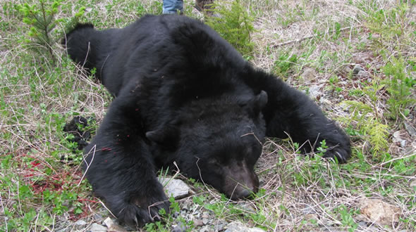 Vancouver Island Spring Black Bear Hunt 2010