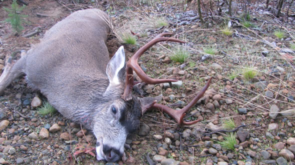 Vancouver Island Blacktail Hunting 2010