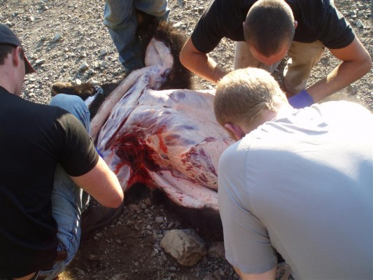 Skinning A Vancouver Island Black Bear