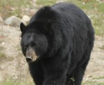 BC Black Bear Hunting Opens Tomorrow