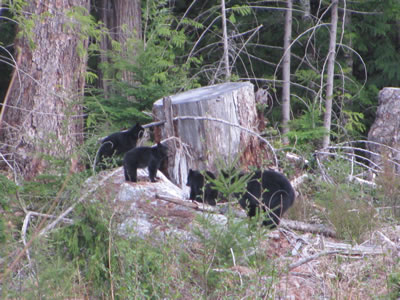 Sow And Three Cubs - Vancouver Island Black Bears
