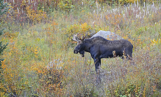 Factors Affecting Moose Populations in Central BC