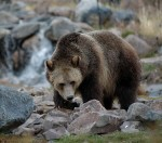Support The BC Grizzly Bear Hunt