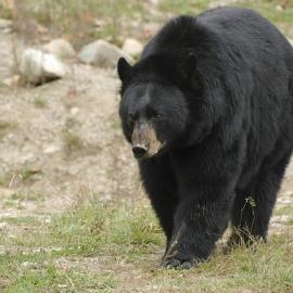 bigstock_black_bear_3792484