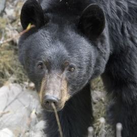sbear2